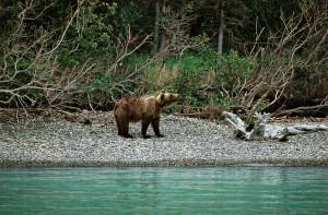 14Grizzly-am-Ufer-Alaska