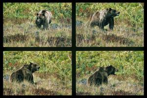 15Grizzly-Alaska