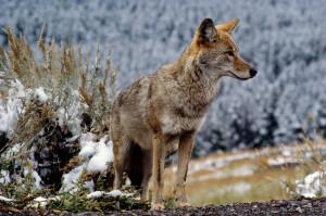 Kojote-im-Yellowstone-NP